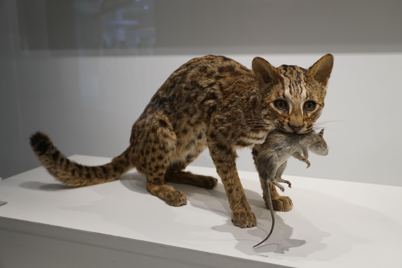 科博館展《石虎的美麗家園》盼大眾關注生態